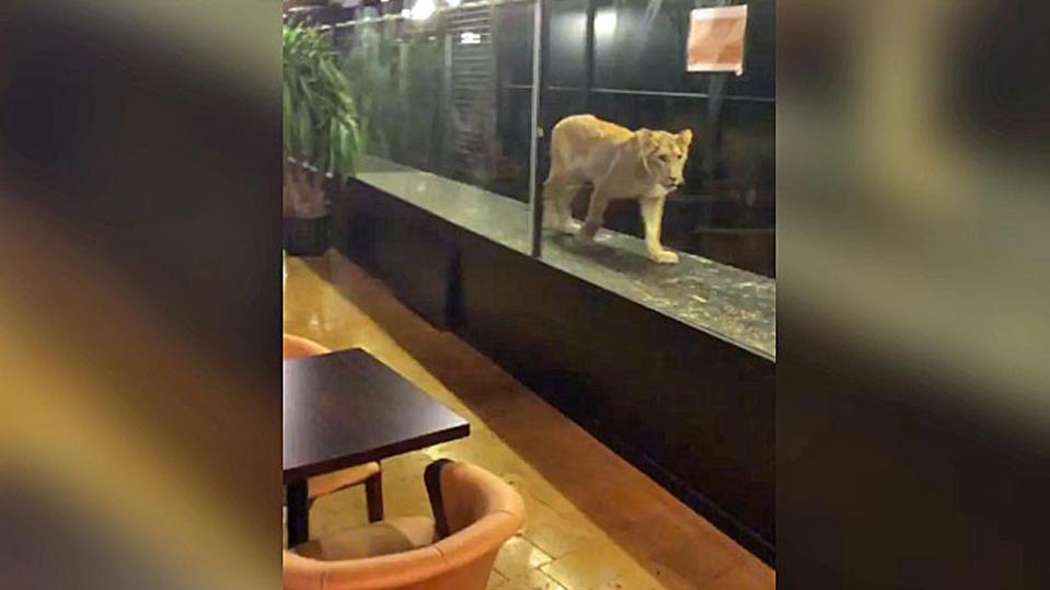 Türkisches Shisha-Café stellt Löwin im Glaskasten aus – Raubtier muss Gäste bespaßen: Grüne schweigen