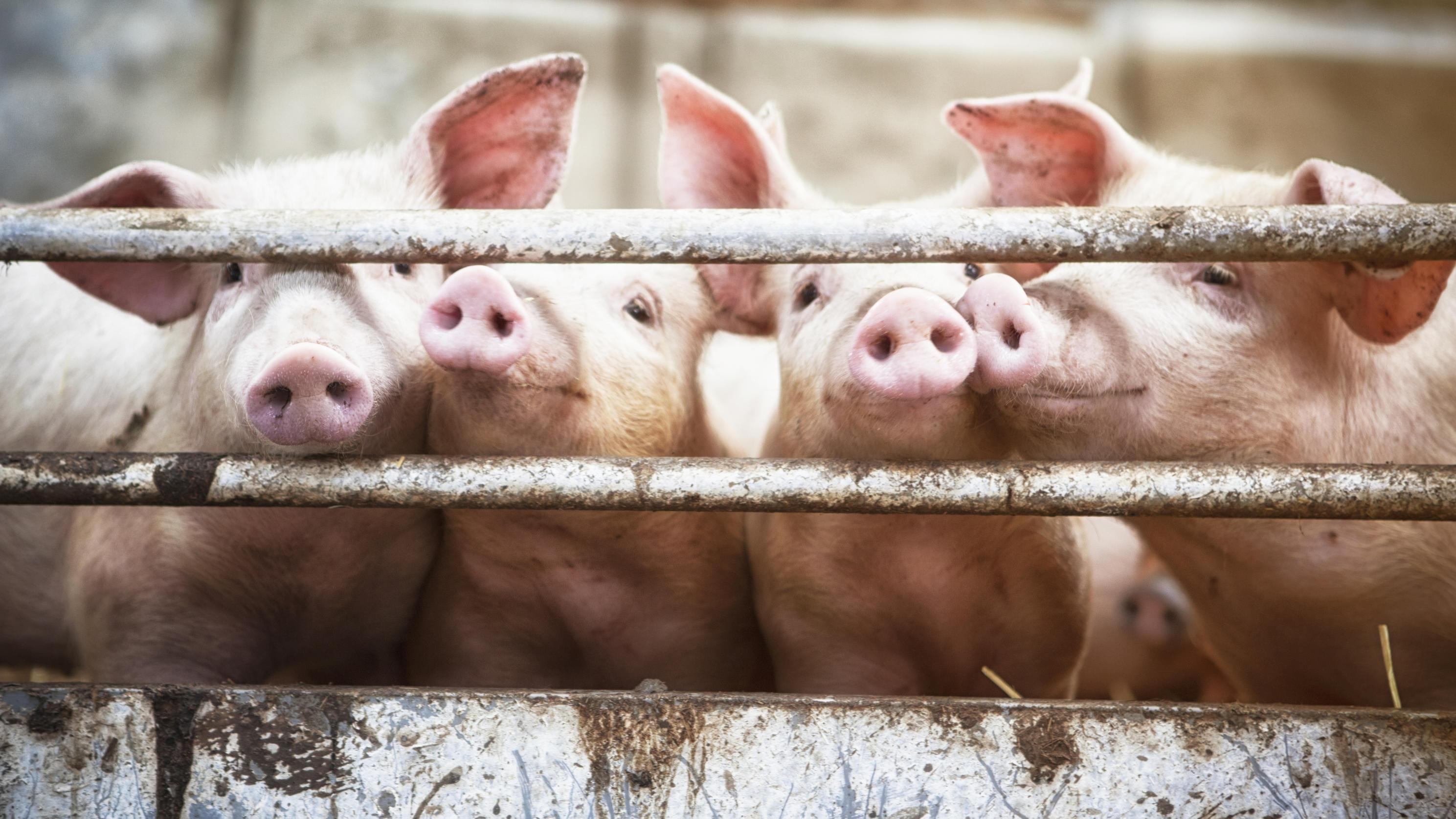 Arbeiter uriniert auf Fließband: US-Schlachter vernichtet 23.000 Kilo Fleisch