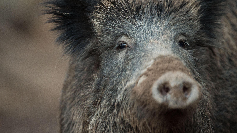afrikanische schweinepest im anmarsch dr ckjagd auf infizierte wildschweine. Black Bedroom Furniture Sets. Home Design Ideas
